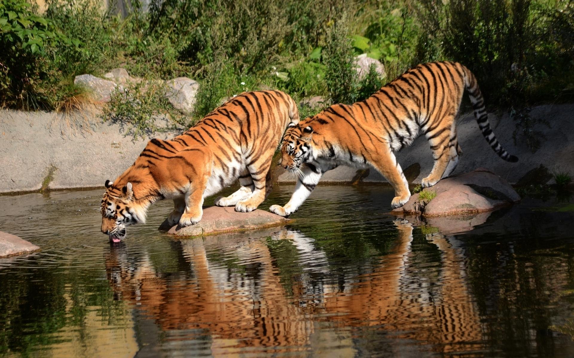 Chiêm Ngưỡng 500 Hình ảnh Con Hổ đẹp Nhất Thế Giới 18