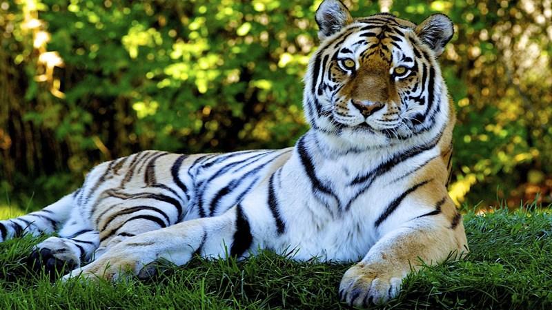 Chiêm Ngưỡng 500 Hình ảnh Con Hổ đẹp Nhất Thế Giới 3
